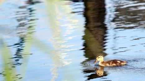 Kleine Ente